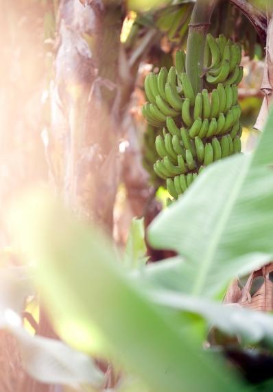 Plátano de canarias - Inconfundible por su sabor